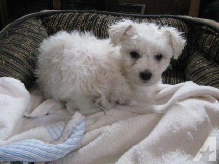 Cute Bichon Frise puppies For Rehoming1