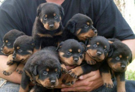 Gorgeous Rottweiler Puppies For Rehoming1