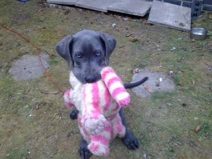 Great Dane Puppies Available For Rehoming1
