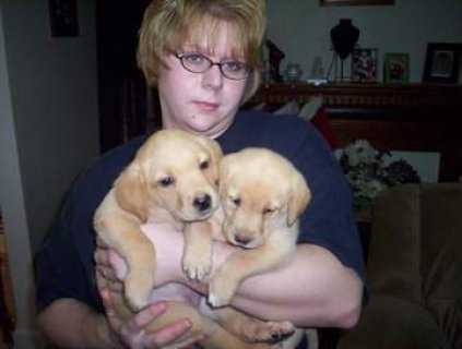 Male and Female Labrador puppies For Rehoming1