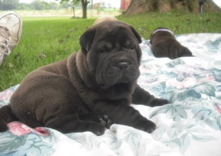 Adorable shar pei puppies for sale11
