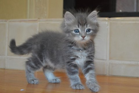 Cute Siberian Kittens ready to go For Good Homes333
