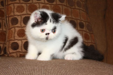Exotic Shorthair Kittens For Rehoming