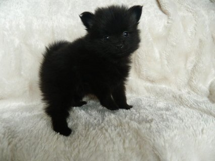 Black And Grey Teacup Pomeranian Puppies For Sale