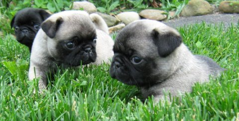 Black And Grey Pug Puppies Available For Good Home