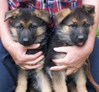 German Shepherd Puppies for sale11