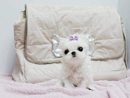 2 Excellent Male And Female Tea Cup Maltese Puppies Ready To Go