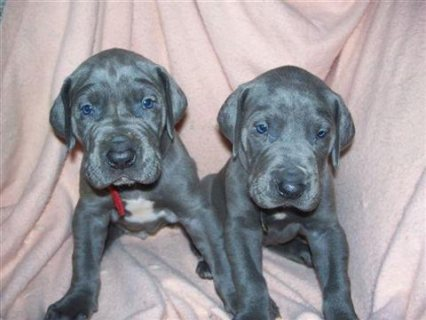 Great Dane male and female puppies to give outq1