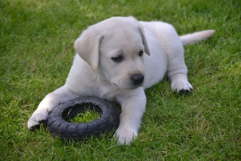 Beautiful Labrador Puppies for adoption11
