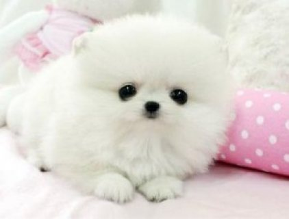 صور Cutest Pomeranian Puppies for Sale 1