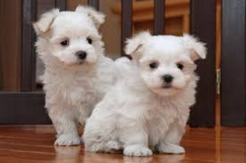 saleoutstanding male and female pure breed Maltese puppies read