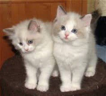 Ragdoll Kittens for adorption