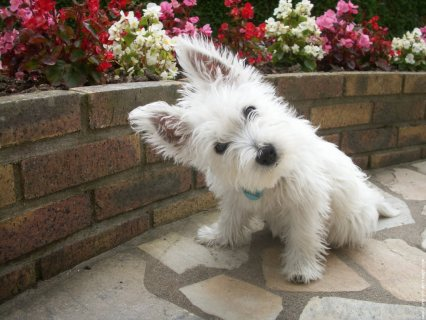 West Highland Terrier Puppies for adoption1