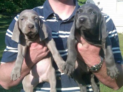 Adorable lovely Weimaraner for sale1