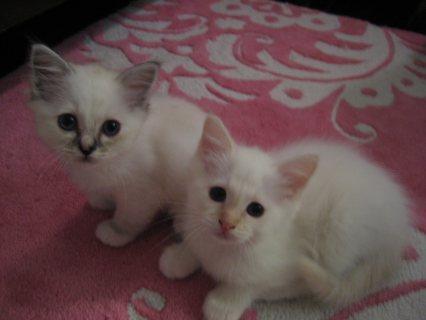 Male and Female Birman Kittens11