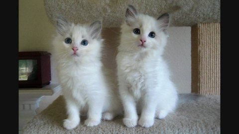 Cute Male And Female Ragdoll Kittens For New Home12