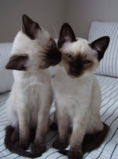2 Beautiful litter of Siamese Kittens for sale 2222