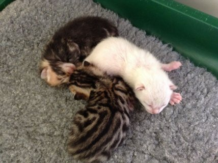 Gift Potty Trained Bengal Kittens