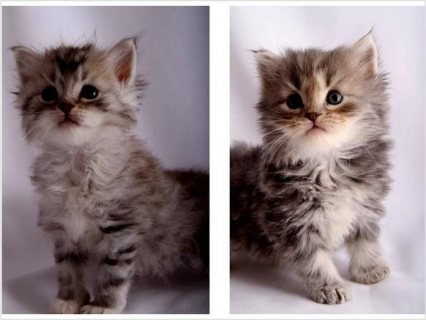 lovely Siberian kittens looking for good homes