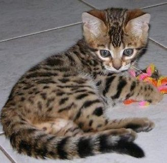 صور Sweet male and female bengal kittens for sale 1