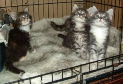 Cute male and female Maine Coon Kittens for sale