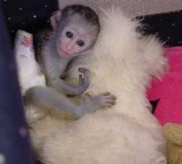 Marvelous Capuchin Monkeys for Sale