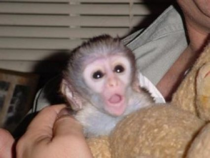 Adorable and Sweet Capuchin monkey