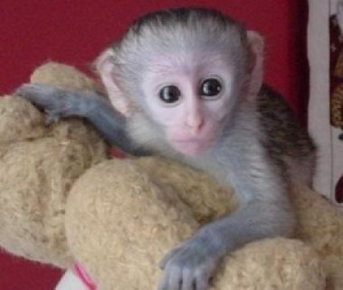 Lovely Baby Capuchin Monkeys For Free Adoption
