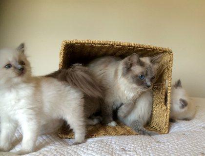 Ragdoll Kittens for adorption