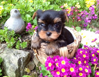 Male and female Yorkie Puppies 6543