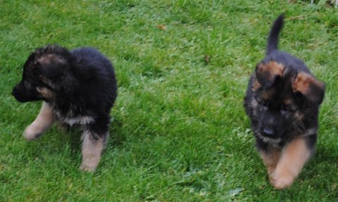 Quality German Shepherd puppies for sale 765