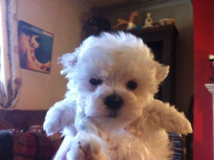 Super adorable Maltese Puppies for sale 6543