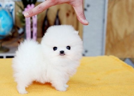 Lovely Pomeranian Puppies for Sale 821
