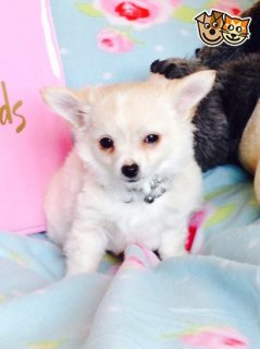 Beutifull Chihuahua Puppies for Rehoming 543