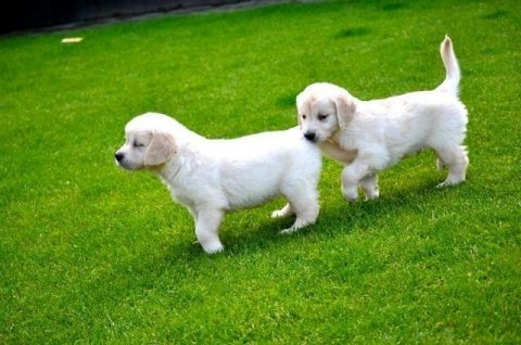 Golden Retriever Puppies Available 876