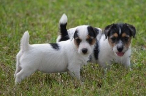 Lovely Jack Russell Terrier Puppies for Sale 765