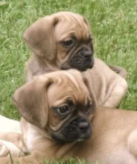 Beautiful Puggle Puppies ready to go now new homes.