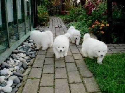 Purebred Samoyed Puppies for Adoption 765