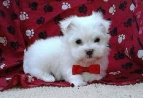 Gorgeous Maltese Puppies Available 654