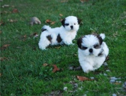 Beautiful Shih Tzu Puppies for Adoption 765