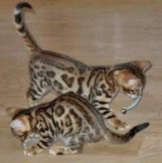 Lovely F2 Savannah Kittens available 321