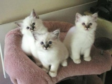 Birman kittens for adoption 6543