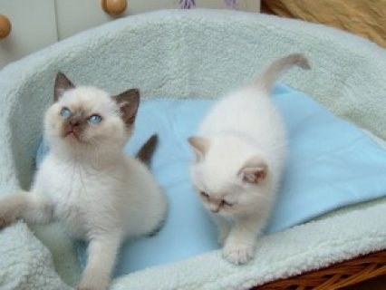 Home-Raised Ragdoll Kittens for sale 65