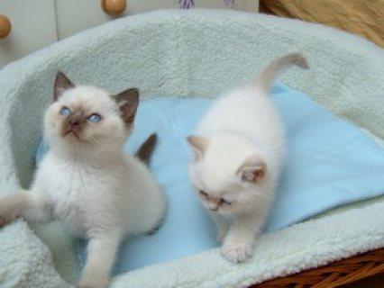 Home-Raised Ragdoll Kittens for sale 65