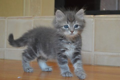 Siberian Kittens Available for sale 32
