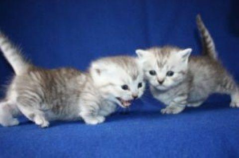 Munchkin Kittens Registered for sale 45