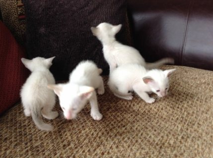 Siamese kittens for sale 543
