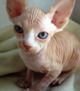 Beautiful Sphynx Kittens for Adoption 112