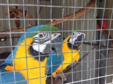 Pair of Blue & Gold Macaws