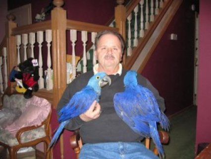 صور Hand Raised Hyacinth Macaw Parrots For Sale 1